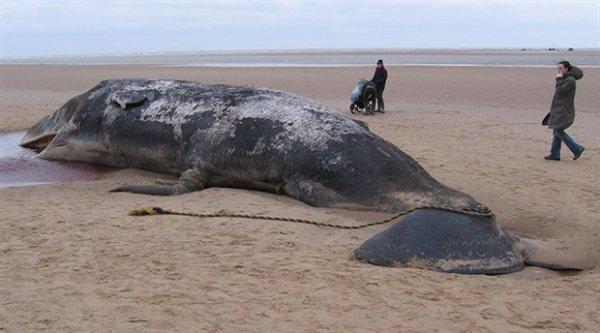 Karaya vuran balinanın midesinden 100 kilogram çöp çıktı: Halat paket bandı poşet ve plastik bardak