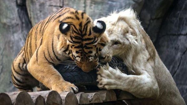 Beyaz aslan ile Bengal kaplanının dostluğu görenleri hayrete düşürüyor