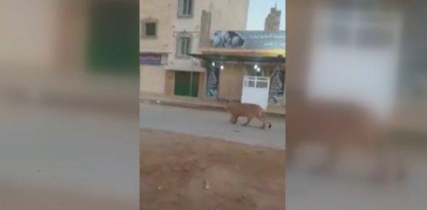 Bingazi de gezen bir aslan