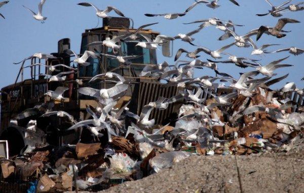 Bu kuşlar her yerde; taşıdıkları bakteri çok tehlikeli