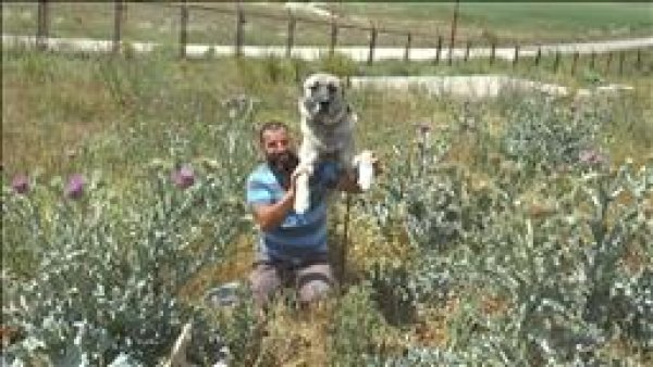 Sadık dost Kangal köpeklerine ilgi arttı