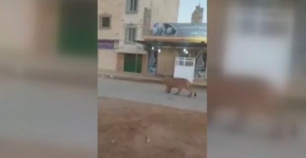Bingazi de cadde ortasında başıboş gezen bir aslan